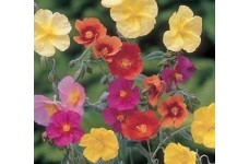 HELIANTHEMUM CROWN MIXED SEEDS - MIXED COLOUR ROCK ROSE - 500 SEEDS