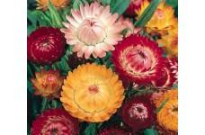 HELICHRYSUM BRACTEATUM STRAW FLOWER TOM THUMB MIXED SEEDS - 2000 SEEDS