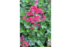 HEUCHERA BRESSINGHAM HYBRID PINK CORAL BELLS PERENNIAL 1 LITRE POTTED PLANT - PRICED INDIVIDUALLY