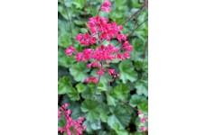 HEUCHERA BRESSINGHAM HYBRID PINK CORAL BELLS PERENNIAL 0.5L / 9CM POTTED PLANT - PRICED INDIVIDUALLY