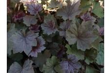 HEUCHERA VILLOSA DARK RED / BURGUDY PERENNIAL 1 LITRE POTTED PLANT - PRICED INDIVIDUALLY