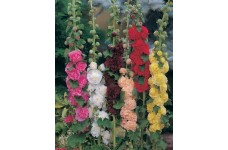 HOLLYHOCK CHATERS DOUBLE MIX ALCEA ROSEA PERENNIAL 0.5L / 9CM POTTED PLANT  - PRICED INDIVIDUALLY