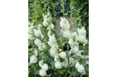 HOLLYHOCK CHATERS DOUBLE WHITE - ALCEA ROSEA - 100 SEEDS