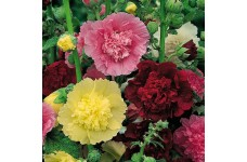HOLLYHOCK CHATERS DOUBLE SEEDS - ALCEA ROSEA  - MIXED COLOUR - 100 SEEDS