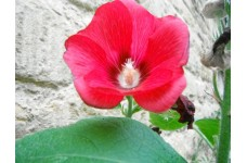HOLLYHOCK VIBRANT RED SEEDS - 50 SEEDS
