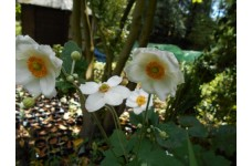 HONORINE JOBERT JAPANESE ANEMONE WHITE PERENNIAL 2 LITRE POTTED PLANT - PRICED INDIVIDUALLY