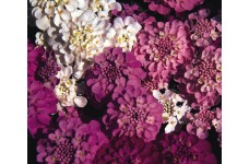 IBERIS SEMPERVIRENS SEEDS - CANDYTUFT CROWN MIXED - 1000 SEEDS