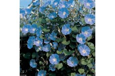 IPOMOEA MORNING GLORY - CLARKS HEAVENLY BLUE - CLIMBER - 100 SEEDS