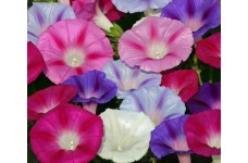 IPOMOEA MORNING GLORY FLYING SAUCER MIX SEEDS - MIXED COLOUR STRIPED FLOWERS - 100 SEEDS