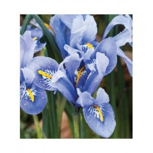 IRIS DWARF ALIDA RETICULATA BULBS -PALE BLUE WITH YELLOW - PRICED INDIVIDUALLY