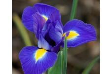 IRIS BLUE MAGIC BULBS - DUTCH HOLLANDICA PERENNIAL BULBS BEARDLES BLUE /YELLOW  - PRICED INDIVIDUALLY