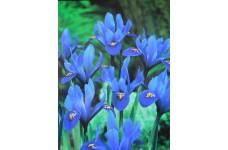 IRIS - DWARF IRIS RETICULATA HARMONY BULBS - BLUE - PRICED INDIVIDUALLY