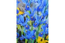 IRIS - DWARF IRIS RETICULATA JOYCE BULBS - BLUE - PRICED INDIVIDUALLY