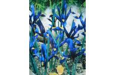 IRIS - DWARF IRIS RETICULATA BULBS - BLUE - PRICED INDIVIDUALLY