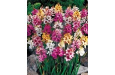 IXIA BULBS - AFRICAN CORN LILY - RHS SILVER MEDAL AWARD - MIXED COLOURS PERENNIAL - PRICED INDIVIDUALLY
