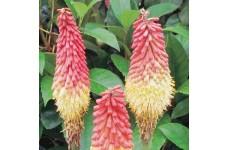 KNIPHOFIA ROYAL CASTLE RED HOT POKER PERENNIAL PLUG PLANT (5CM PLUG) - PRICED INDIVIDUALLY