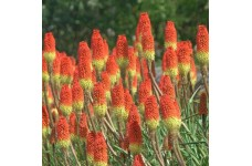 KNIPHOFIA UVARIA FLAMENCO RED HOT POKER TORCHLILY PERENNIAL 1 LITRE POTTED PLANT - PRICED INDIVIDUALLY