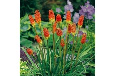 KNIPHOFIA UVARIA RED HOT POKER PERENNIAL 1 LITRE POTTED PLANT - PRICED INDIVIDUALLY