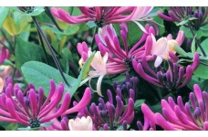 LONICERA JAPONICA DARTS WORLD HONEYSUCKLE CLIMBER PERENNIAL 0.5L / 9CM POTTED PLANT - PRICED INDIVIDUALLY