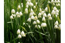LEUCOJUM AESTIVUM BULBS - GRAVETYE GIANT LODDON LILY SUMMER SNOWFLAKE - PRICED INDIVIDUALLY