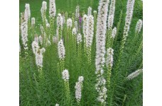 LIATRIS FLORISTAN ALBA WHITE BULBS / CORMS - DENSE BLAZING STAR - BUTTON SNAKEWORT - PRICED INDIVIDUALLY
