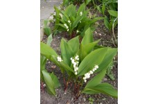 CONVALLARIA MAJALIS LILY OF THE VALLEY PERENNIAL 1 LITRE POTTED PLANT - PRICED INDIVIDUALLY