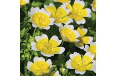 LIMNANTHES DOUGLASSI POACHED EGG MIX - 300 SEEDS