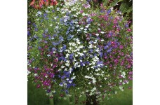 LOBELIA ERINUS TRAILING CELEBRATION MIX PERENNIAL 0.5L / 9CM POTTED PLANT - PRICED INDIVIDUALLY