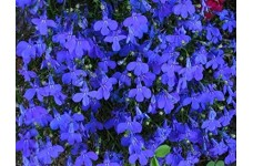 LOBELIA ERINUS TRAILING CRYSTAL PALACE BLUE PERENNIAL MINI PLUG PLANT (1CM PLUG) - PRICED INDIVIDUALLY