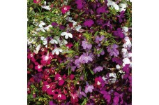 LOBELIA ERINUS TRAILING REGATTA MIX MINI PLUG PLANT (1CM PLUG) - PRICED INDIVIDUALLY