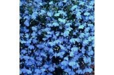 LOBELIA CAMBRIDGE BLUE SEEDS - BLUE COLOUR FLOWERS - COMPACT PLANT - 2000 SEEDS