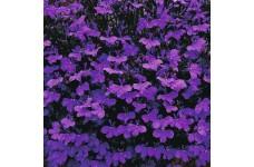 LOBELIA ERINUS CRYSTAL PALACE SEEDS - VIVID BLUE FLOWERS - COMPACT PLANT - 2000 SEEDS