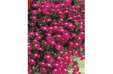 LOBELIA ERINUS ROSAMOND SEEDS - RED FLOWERS WITH WHITE EYES - COMPACT PLANT - 2000 SEEDS