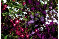 LOBELIA STRING OF PEARLS SEEDS - MIXED COLOUR FLOWERS - COMPACT PLANT - 2000 SEEDS