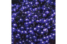 LOBELIA ERINUS TRAILING SAPPHIRE SEEDS - DEEP BLUE FLOWERS WITH WHITE EYES - 2000 SEEDS