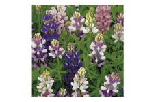 LUPIN LUPINE LUPINUS PIXIE DELIGHT MIXED SEEDS - 50 SEEDS