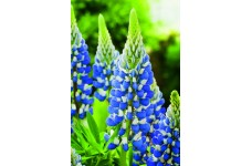 LUPIN LUPINE LUPINUS THE GOVERNOR SEEDS - BLUE & WHITE FLOWERS - 50 SEEDS
