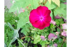 LYCHNIS CORONARIA ROSE MAGENTA SHOCKING PINK PERENNIAL 1 LITRE POTTED PLANT - PRICED INDIVIDUALLY