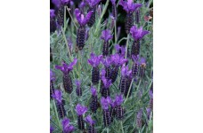 LAVENDER STOECHAS LAVANDULA FRENCH LAVENDER 0.5L / 9CM POTTED PLANT - PRICED INDIVIDUALLY