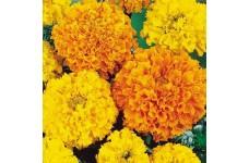MARIGOLD AFRICAN HEIRLOOM CRACKERJACK SEEDS - YELLOW & ORANGE DOUBLE FLOWERS - 400 SEEDS