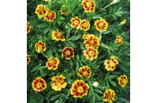 MARIGOLD TAGETES DWARF FRENCH LEGION D'ONORE SEEDS (LEGION OF HONOUR) - 400 SEEDS