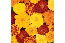 MARIGOLD TAGETES PATULA FRENCH DOUBLE BROCADE MIX SEEDS - 400 SEEDS