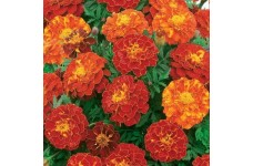 MARIGOLD TAGETES PATULA FRENCH DOUBLE BROCADE RED SEEDS - 400 SEEDS
