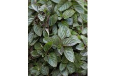 MENTHA PIPERITA PEPPERMINT CHOCOLATE MINT HERB PERENNIAL 1 LITRE POTTED PLANT - PRICED INDIVIDUALLY