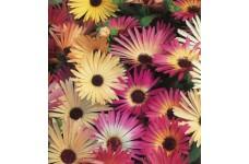 MESEMBRYANTHEMUM PASTEL MIX SEEDS - MIXED COLOUR FLOWERS - 2000 SEEDS