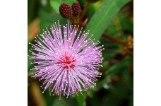 MIMOSA PUDICA SEEDS (SHY PLANT / SENSITIVE PLANT SEEDS) - 200 SEEDS