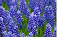 MUSCARI ARMENIACUM BULBS - GRAPE HYACINTH - BLUE SPIKE PERENNIAL BULBS  - PRICED INDIVIDUALLY