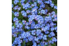 MYOSOTIS ALPESTRIS FORGET ME NOT BLUE BALL MINI PLUG PLANT (1CM PLUG) - PRICED INDIVIDUALLY