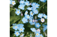MYOSOTIS ALPESTRIS FIELD / WOOD FORGET ME NOT - 1 LITRE POTTED PLANT - PRICED INDIVIDUALLY
