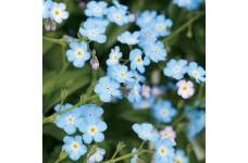 MYOSOTIS ALPESTRIS BLUE SEEDS - FIELD / WOOD FORGET ME NOT BLUE SEEDS - 1500 SEEDS